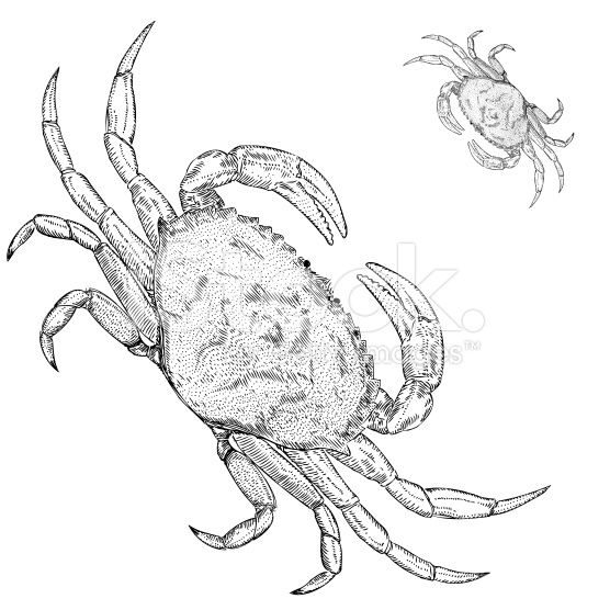 Dungeness Crab Drawing