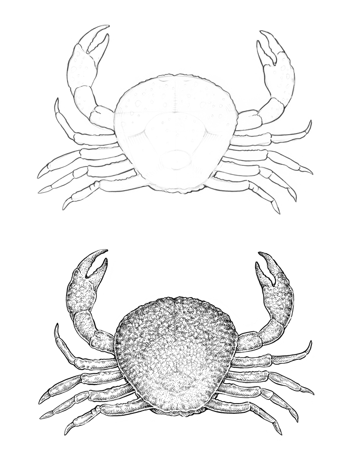 Dungeness Crab Drawing at GetDrawings.com   Free for personal use ...
