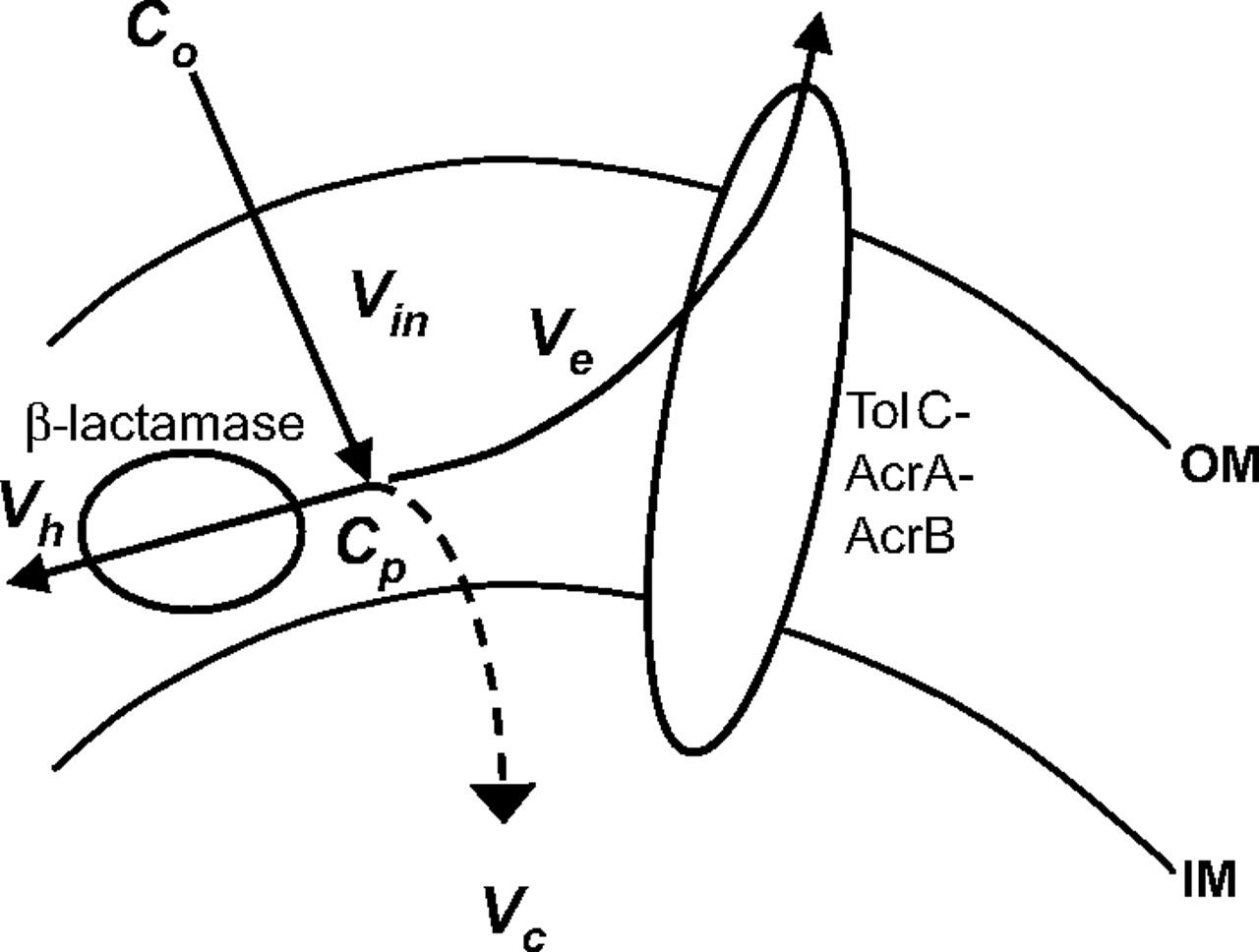 1280x968 Kinetic Behavior The Major Multidrug Efflux Pump Acrb