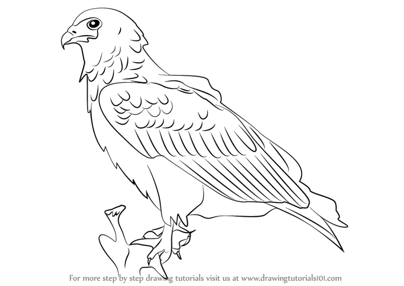 800x566 Learn How To Draw A Bateleur Eagle (Birds) Step By Step Drawing
