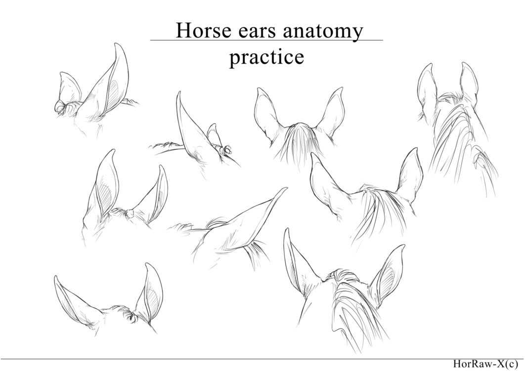 1062x751 Horse Ears Anatomy Practice By Horraw X