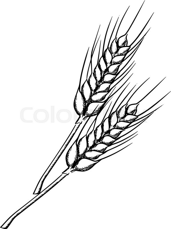 598x800 Organic Farm Ears Of Wheat With Ripe Grains And Stems, Isolated