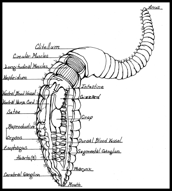 Scientific Diagram Of An Earthworm - Search For Wiring Diagrams •