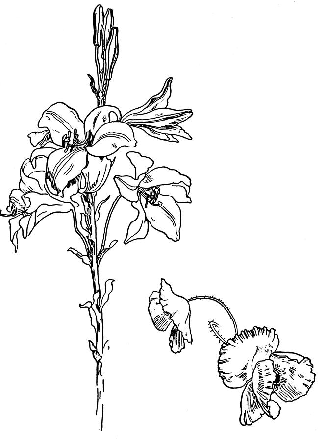 667x900 Lily And Poppy Flower Line Drawing Drawing By