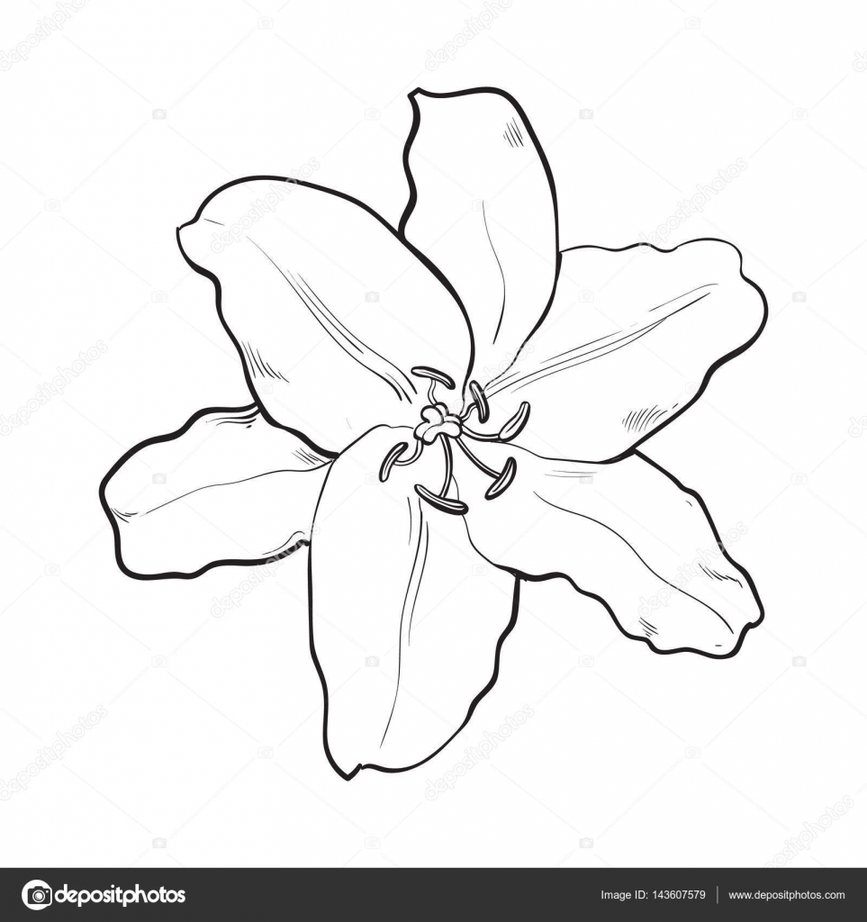 963x1024 Single Hand Drawn White Lily Flower, Top View, Vector Illustration
