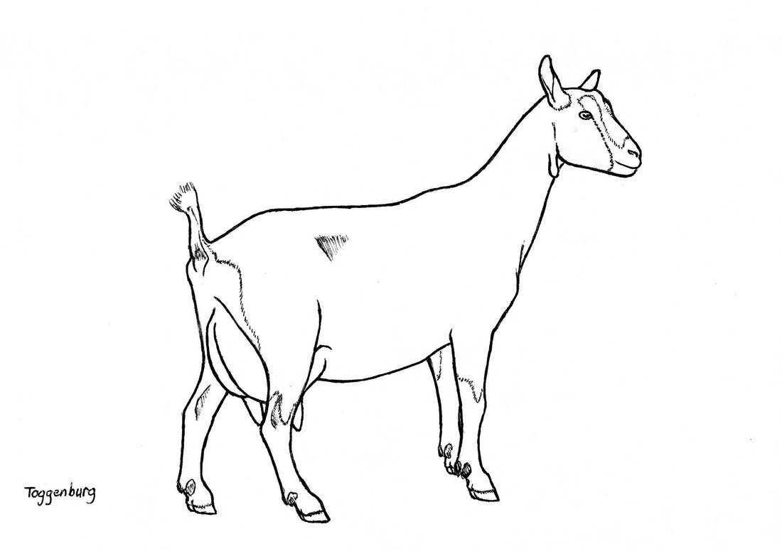 Easy Goat Drawing At GetDrawings