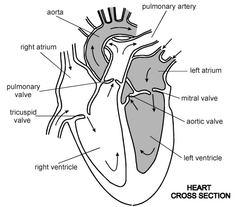 476x420 How To Draw Internal Structure Of Human Heart Easily