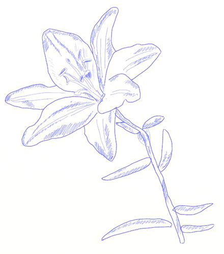 440x500 How To Draw A Lily Flower