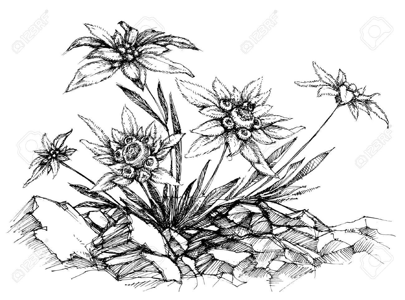 1300x962 Edelweiss Etch Royalty Free Cliparts, Vectors, And Stock