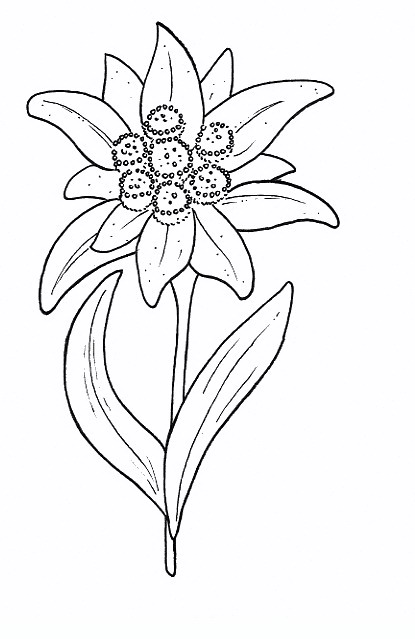 415x639 Edelweiss Flowers Coloring Pages