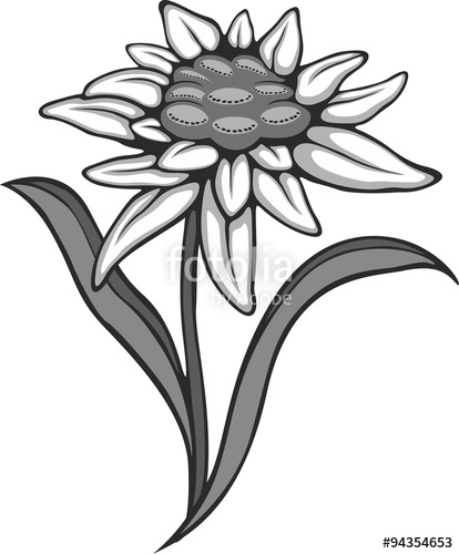 414x500 Edelweiss Flower, With Banner. Vector Tattoo Illustration Stock