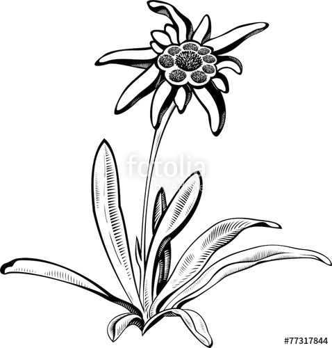 478x500 Edelweiss Flower With Leaves. Vector Tattoo Illustration Stock
