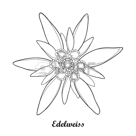 450x450 Illustration With Outline Edelweiss Or Leontopodium Alpinum
