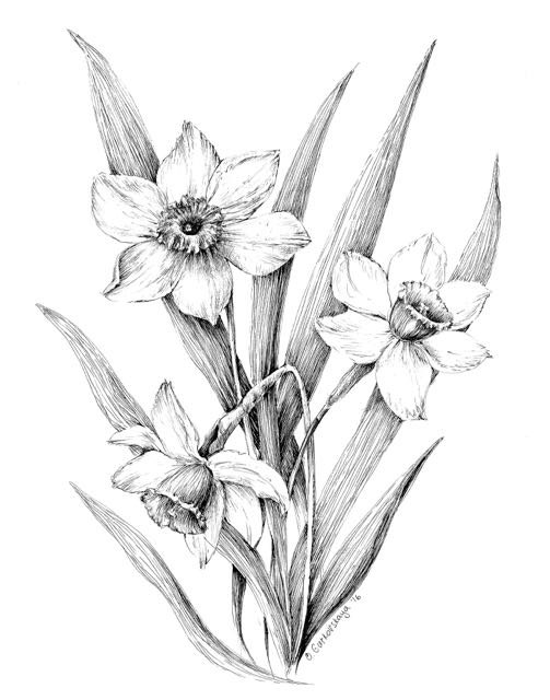 503x640 Narcissus Print Daffodil Drawing Floral Art Black And White