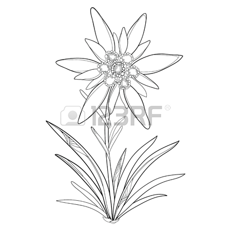 450x450 Outline Edelweiss Or Leontopodium Alpinum. Flower And Leaves