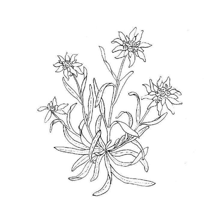 736x736 The Best Edelweiss Tattoo Ideas On Bloom Tattoo