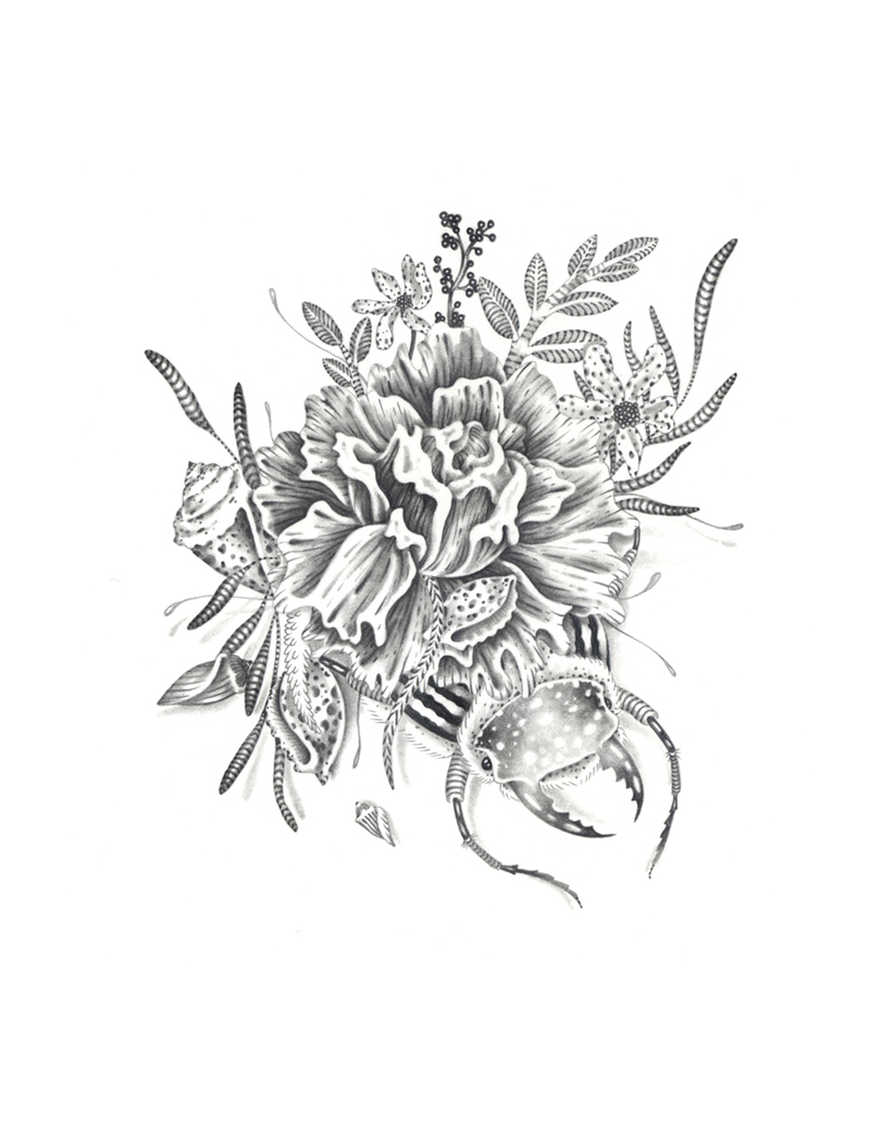 Edelweiss Flower Drawing