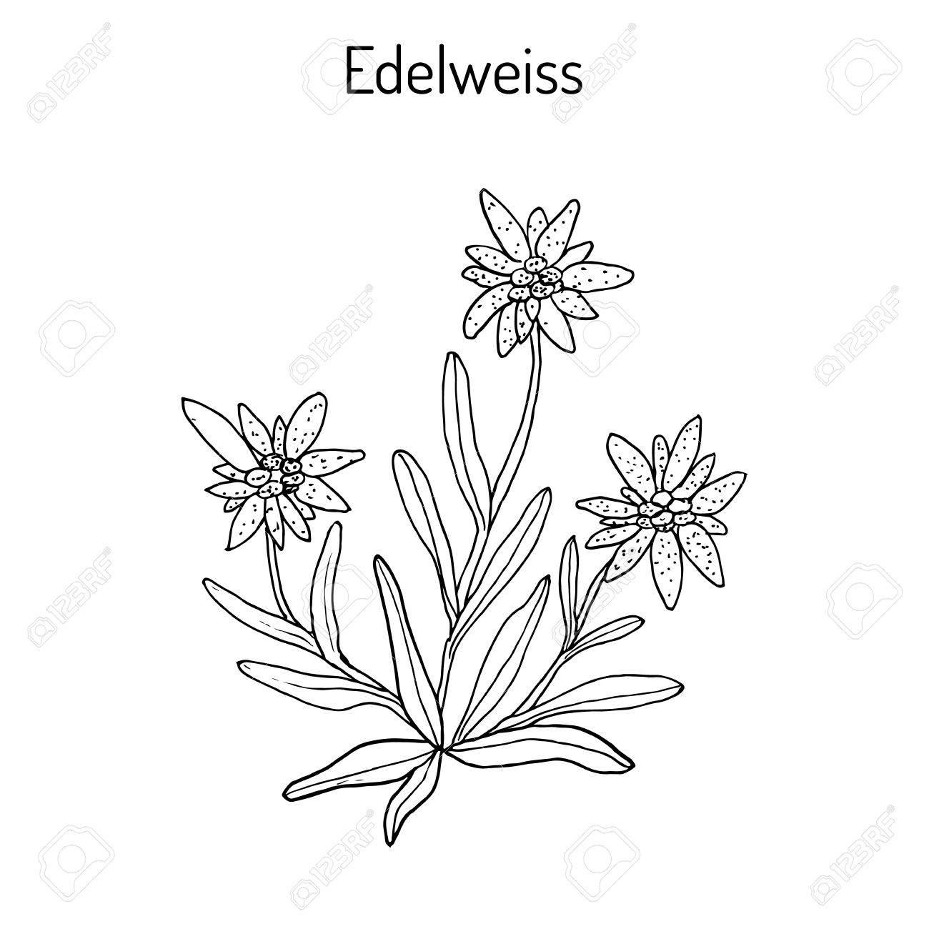 1300x1300 Edelweiss (Leontopodium Alpinum) Flower. Hand Drawn On White