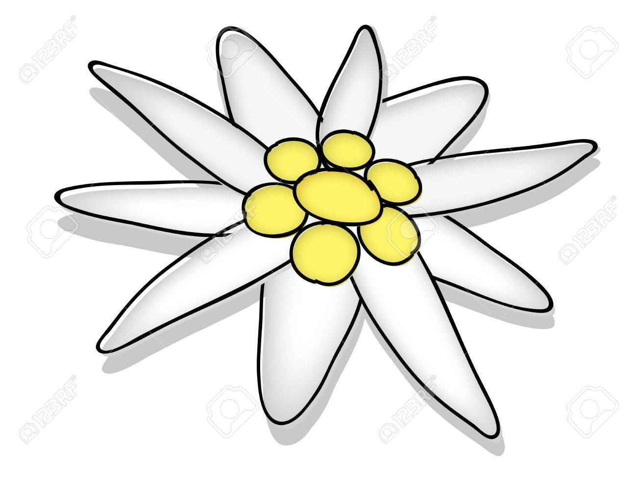 1300x974 Edelweiss Blossom Stock Photo, Picture And Royalty Free Image