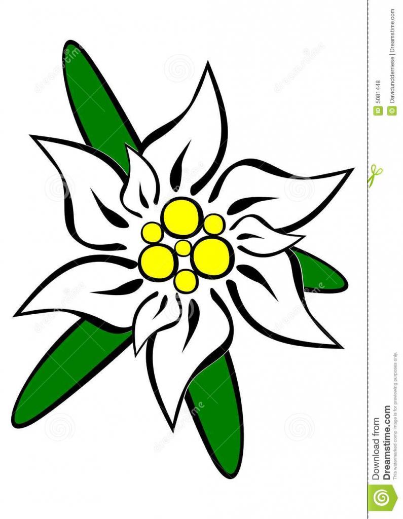 795x1024 Edelweiss Flower Drawing Edelweiss Flower Drawing Edelweiss Flower