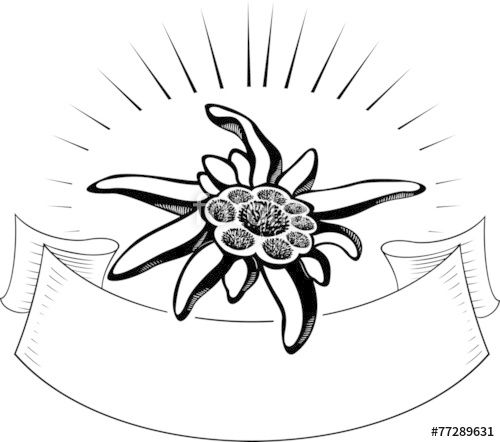500x442 Edelweiss Flower, With Banner. Vector Tattoo Illustration Stock