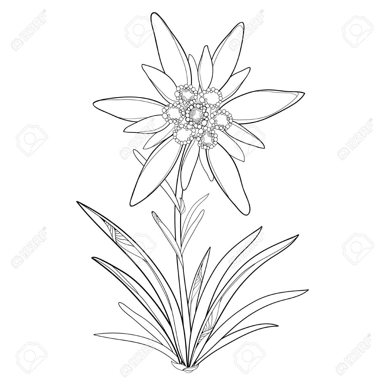 1300x1300 Outline Edelweiss Or Leontopodium Alpinum. Flower And Leaves