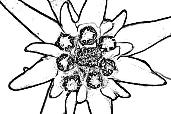 600x402 Austrian Flower Adelvice