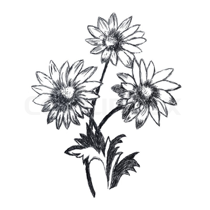 800x800 Chamomile Flowers Sketch. This Is Picture Drawed With Pencil