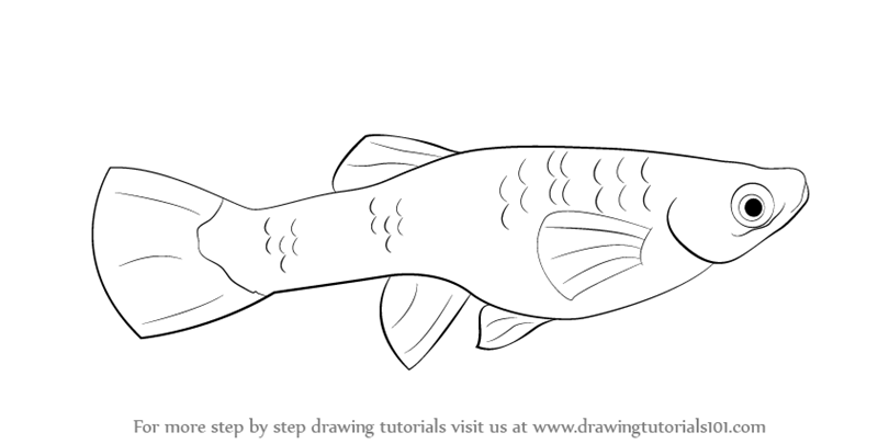 800x405 Learn How To Draw A Guppy (Fishes) Step By Step Drawing Tutorials