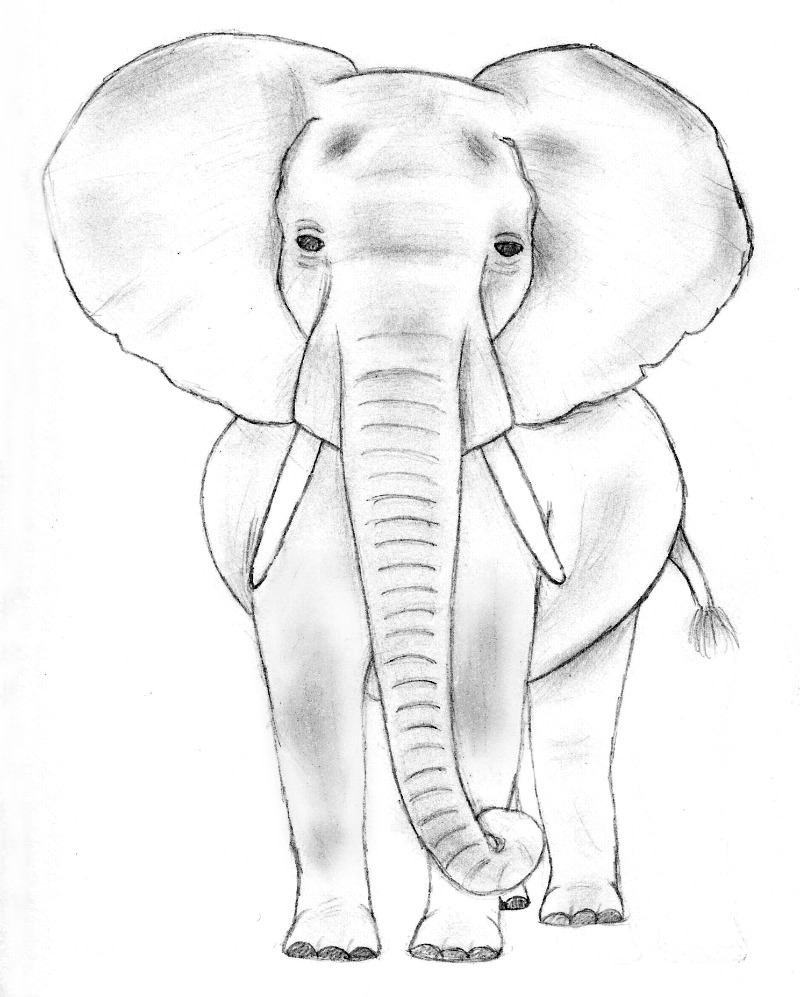 800x997 Elephant Sketch 1 By Therebelwithnocause
