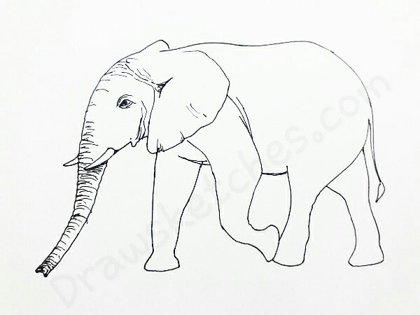 600x450 How To Draw An Elephant In 13 Easy And Detailed Steps With (Pictures)