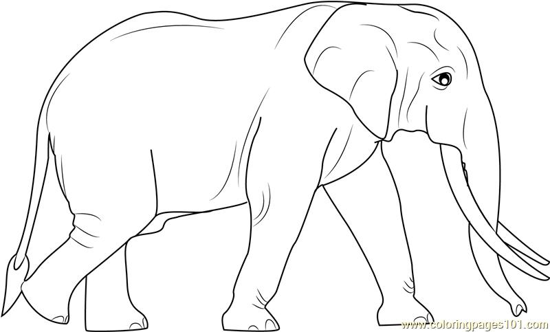 800x483 Sri Lankan Elephants Coloring Page