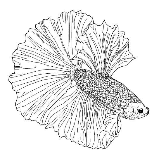544x544 Elephant Ears Betta Fish Stickers By Rumerpriestly Redbubble