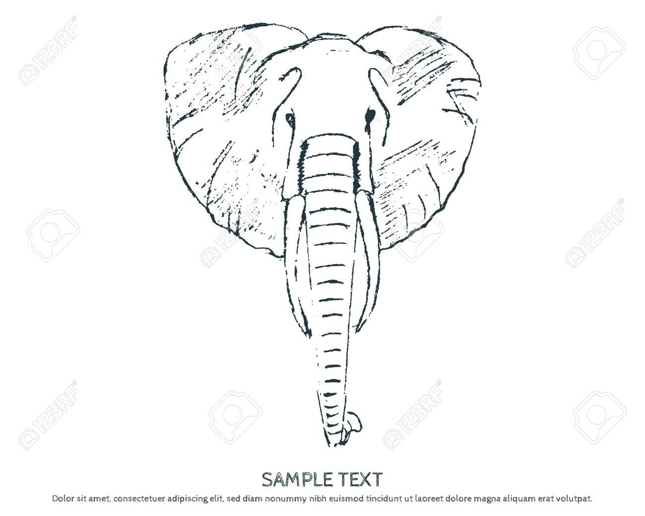 1300x1039 Sketch Elephant Head. Stock Photo, Picture And Royalty Free Image