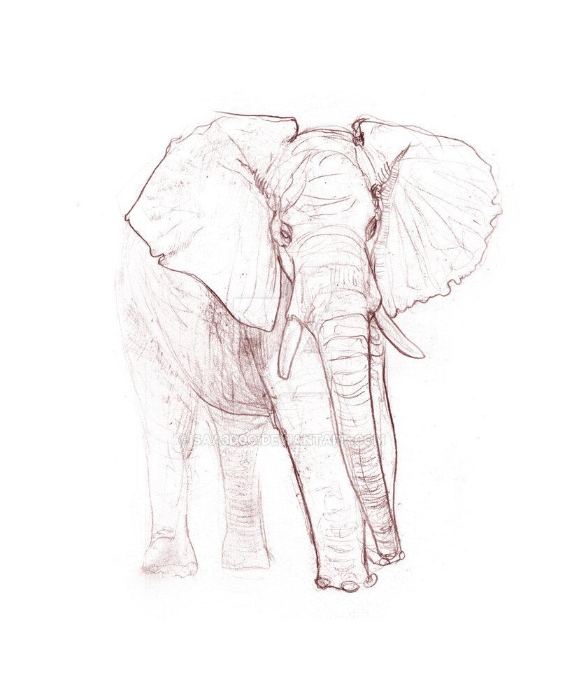 808x988 Elephant Study Sketch By Saa3d0o