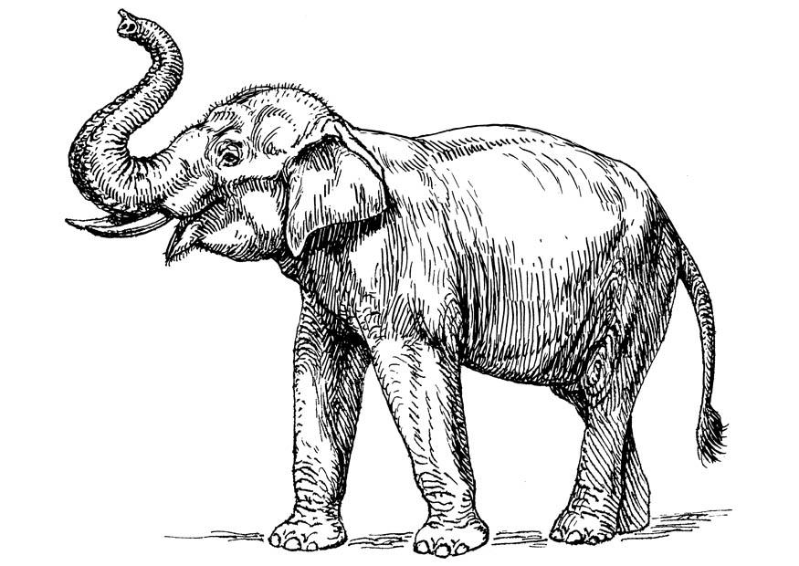 875x620 Coloring Page Indian Elephant