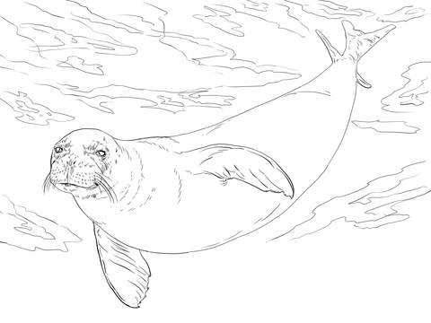 480x360 Monk Seal Coloring Page Free Printable Coloring Pages