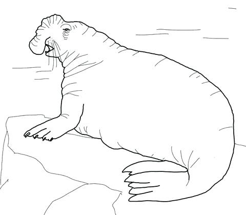 480x419 Leopard Seal Coloring Pages Joandco.co