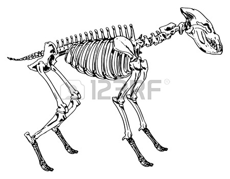 450x350 Diagram Of The Elephant Skeleton Royalty Free Cliparts, Vectors