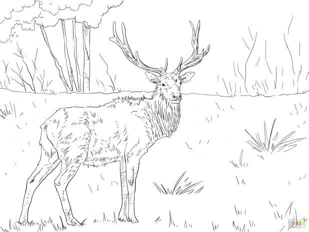 618x464 Elk Coloring Page Free Printable Pages To Print Deer And Elk