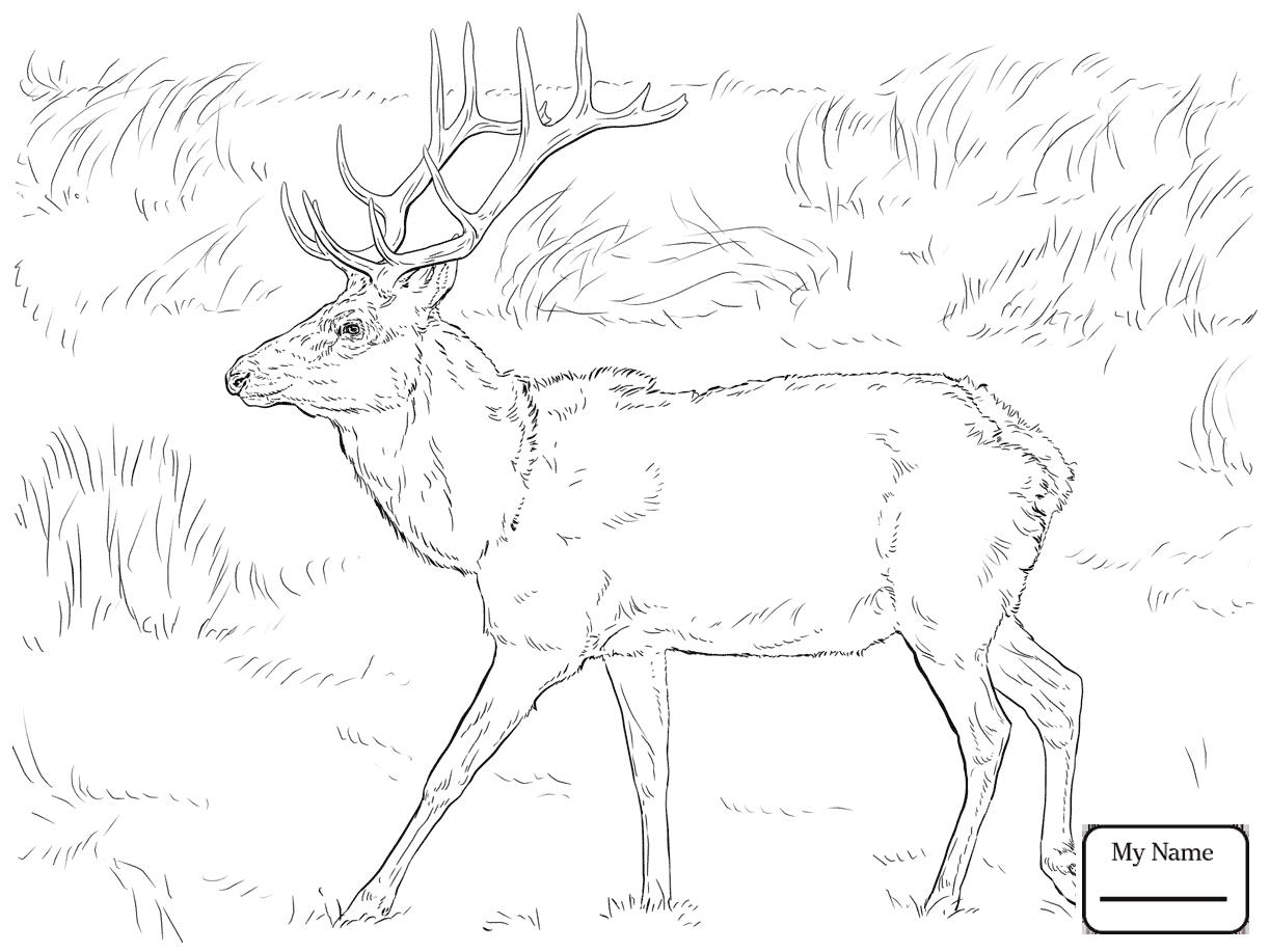 1223x917 Elk Or Wapiti Elk Mammals Elk Coloring Pages For Kids