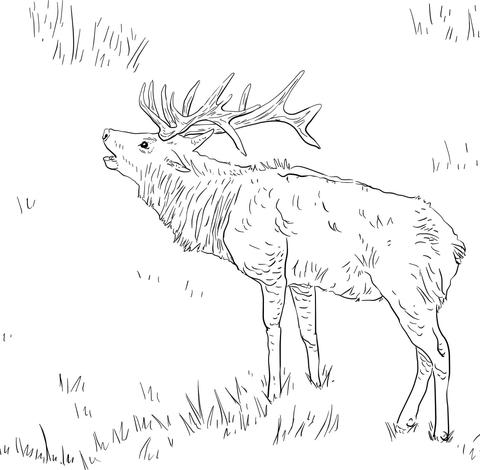 480x470 Tule Elk Coloring Page Free Printable Pages