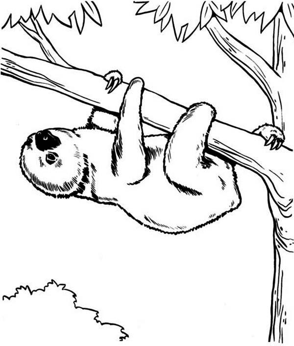 600x706 Endangered Species Sloth Coloring Page Color Luna