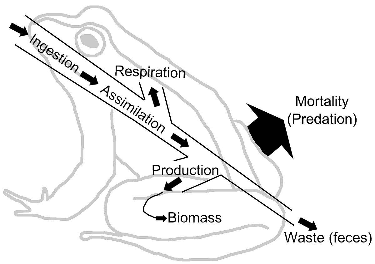 1200x846 Energy Flow (Ecology)
