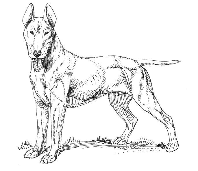 685x592 Filebull Terrier (Psf).jpg