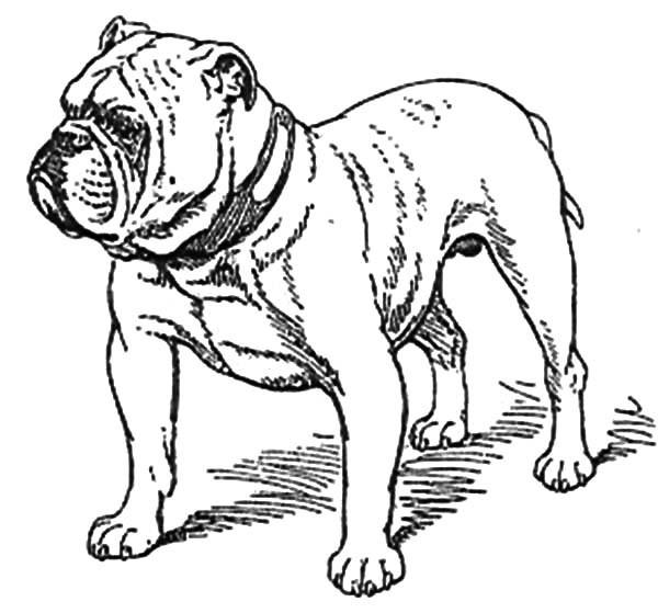 600x559 English Bulldog Coloring Pages English Bulldog Coloring Pages Free
