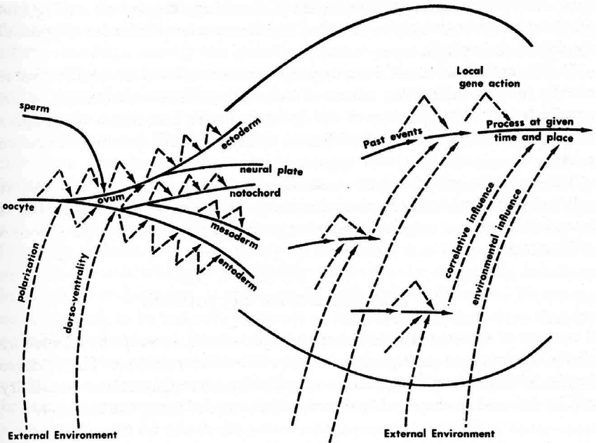 850x632 Wright's Drawing Of The Relationship Between Genes And Environment