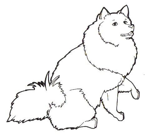 471x436 American Eskimo Dog By Riosaris