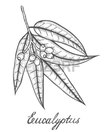 Eucalyptus Drawing