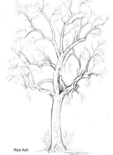 eucalyptus tree drawing at getdrawings com